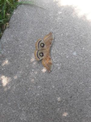 Are the Polyphemus Moths Dangerous? - large moth