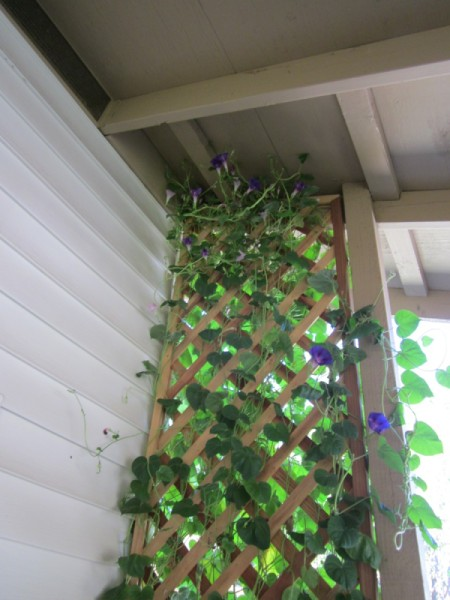 Problems Growing Morning Glory  in a Planter Box - trellis