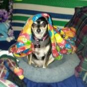 Sissy-Gal (Chihuahua)