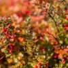 Barberry bush in autumn.