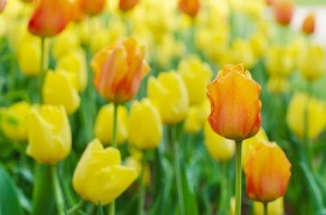 Yellow and orange tulips.