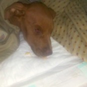 Puppy Recovering from Parvo Can't Walk - reddish brown puppy