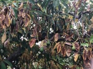 Avocado Tree Losing Its Leaves Early - brown leaves on tree