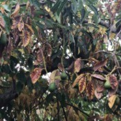 Avocado Tree Losing Its Leaves Early - brown leaves on tree