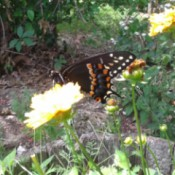 Black Swallowtail Butterfly - butterfly on yellow flower