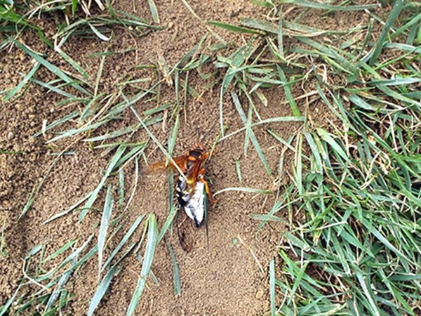 A wasp carrying a cicada.