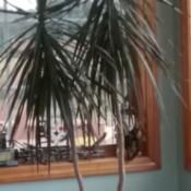 What Is This Houseplant? - dracaena