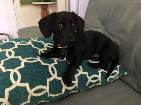 Reuben (Dachshund) - black puppy on a green and white pillow