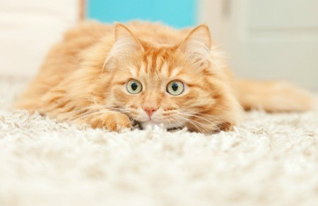Anxious looking cat on a white carpet.
