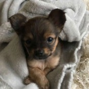 Kona (Yorkie Chihuahua Mix)  - brown and tan puppy in a blanket