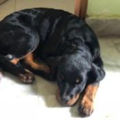 Puppy Is Sick Following First Rabies Shot - Rottweiler puppy
