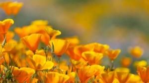 Field of orange poppies.