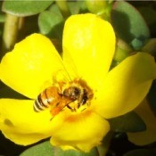 The Most Welcome Bees - on yellow portulaca