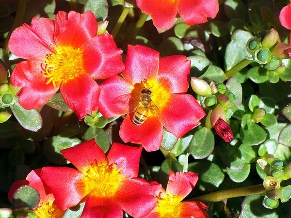 The Most Welcome Bees - on red portulaca