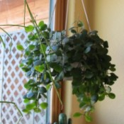 Identifying a Houseplant - hanging green foliage plant