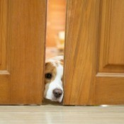 Dog opening a door with nose.