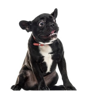 Scared french bulldog.