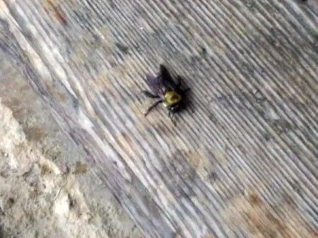 Rescue of My Bee Friend - bee drying out on a wooden step