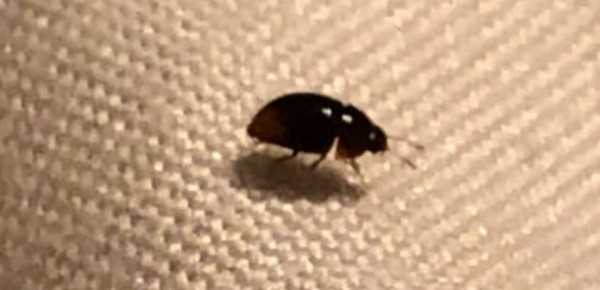 identifying small black bugs thriftyfun. Black Bedroom Furniture Sets. Home Design Ideas