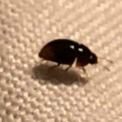 Identifying a Bug in the House - small dark colored shiny bug