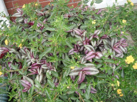 Purple Wandering Jew growing in a garden bed.