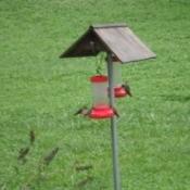 Hummingbirds - at feeder