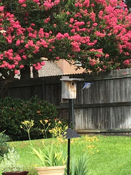 A bluebird father flying back to the next inside a birdhouse.