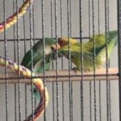 Lovebirds Not Mating