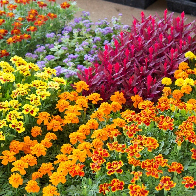 Transplanting Bedding Plants Thriftyfun, What Is Meant By Bedding Plants