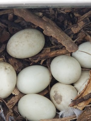 Moving With a Pet Nesting Duck - duck eggs