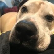 Dog Has a Lump Under Her Nostril - lump under dog's left nostril