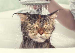 Cat closing eyes as it gets a bath.