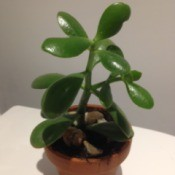 Identifying Houseplants - jade plant