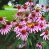 3 Butterflies and a Bee on Echinacea - pretty purple cone flowers with pollinators