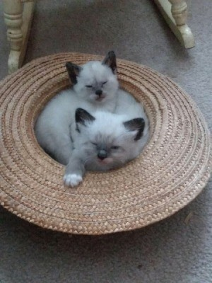Could These Kittens Be Part Siamese? - fuzzy kittens with Siamese or Himalayan markings