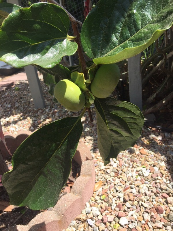 Protect Ripening Fruit with Newspaper - immature fruit on tree