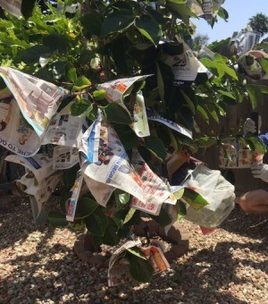 Protect Ripening Fruit with Newspaper - fruit tree festooned with newspaper wrapped fruit