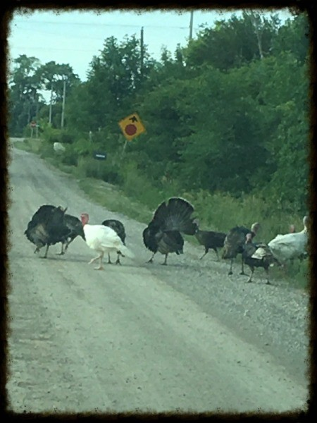 Road Hogs (Wild Turkeys) - in the road