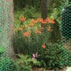 Lovely Lilies - orange flowering Asian lilies