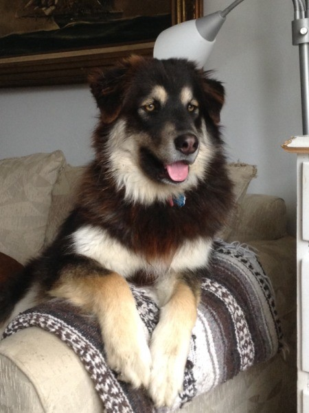 General (Malamute) - dog on couch