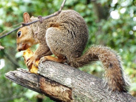 Cute Little Squirrel - squirrel on a broken branch eating an apple core