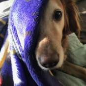 Raven (Golden Retriever) - dog with face half covered with purple blanket