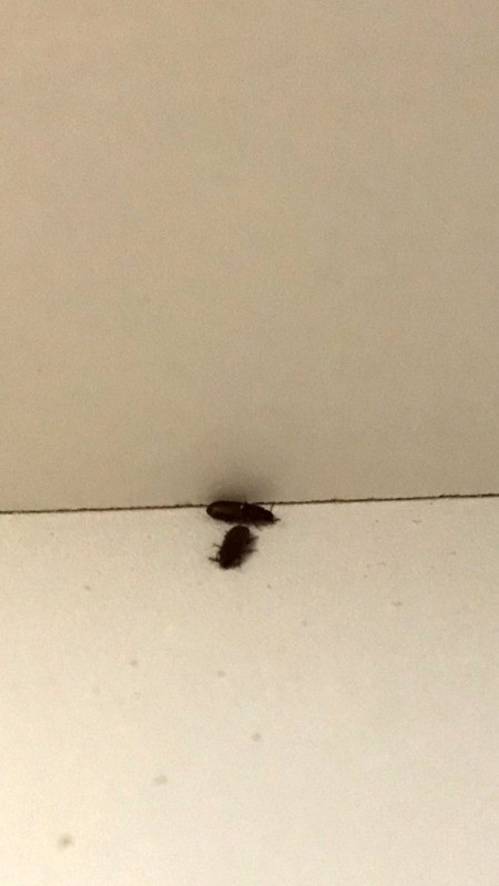 Getting Rid of Small Brown/Black Bugs in an Apartment
