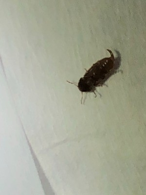 What Kind Of Bug Is This? - small dark brown bug with stinger like appendage on the tail end