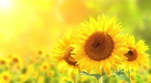 Close up of 3 sunflowers in a field.