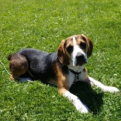 What Breed Is My Dog? - Beagle mix dog lying in the grass