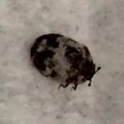 Identifying Pinpoint Sized Black -Bugs - grayish tan and black bug
