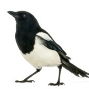 Magpies on white background.