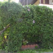 Trimming Shrubs Creatively - elephant