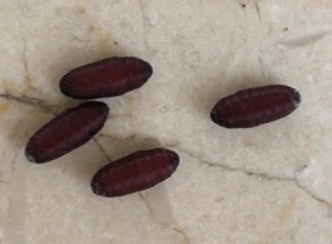 Identifying Insect Eggs - brown torpedo shaped insect eggs